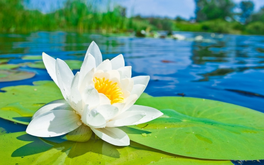 Lotus-Flower-Meaning-Symbolism-Facts